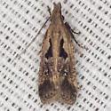 Twirler Moth - Hodges #2302.4 - Dichomeris aglaia