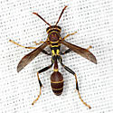 Wasp - Mischocyttarus mexicanus