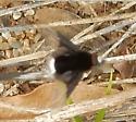 fly - Ogcodocera leucoprocta