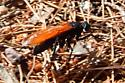 Tarantula hawk on a quest, Pepsis - Pepsis thisbe - female