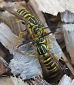 Southern yellowjackets - Vespula squamosa