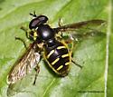 Syrphid Fly - Sericomyia chrysotoxoides - male