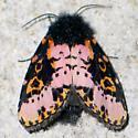 Spanish Moth - top - Xanthopastis regnatrix