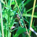 Widow Skimmer - Libellula luctuosa - Female ? - Libellula - female