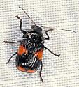 Leaf beetle? - Bassareus mammifer