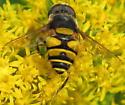 Fly Mimic - Eristalis transversa - male