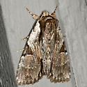 Morrisonia Moth - Morrisonia triangula