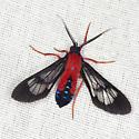 Scarlet-Bodied Wasp Moth - Hodges #8280 - Cosmosoma myrodora - male