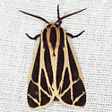 Harnessed Tiger Moth - Hodges #8169 - Apantesis phalerata - male