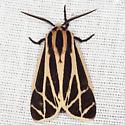 Harnessed Tiger Moth - Hodges #8169 - Apantesis phalerata - male