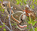 Cecropia Moths - Hyalophora cecropia - male - female