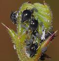 Cowpea Aphid - Aphis craccivora