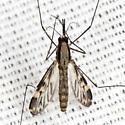 Mosquito - Anopheles punctipennis - female