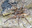 largish wolf spider - Tigrosa helluo
