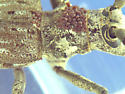Reddish brown mite transport - Monochamus notatus - male