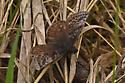 Butterfly BG751 2686 - Erynnis