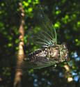 Cicada trapped in the web of a Golden-Silk Orbweaver - Neotibicen linnei