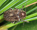 leaf beetle - Glyptoscelis