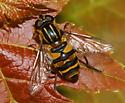 Eristalinae? - Helophilus fasciatus - female