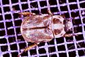 Scarab - Exomala orientalis