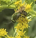 What is this? - Agapostemon