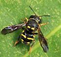 Anthidium sp.? - Anthidiellum notatum