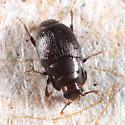 small histerid - Plegaderus transversus