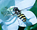 unkown hoverfly - Eupeodes fumipennis