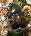 Hairy Flower Scarab - Trichiotinus affinis