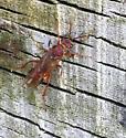 Bee on Driftwood - Macroxyela ferruginea