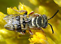 Mystery bee on Rabbitbrush - Epeolus