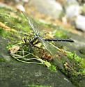 Southern Pygmy Clubtail? - Lanthus parvulus
