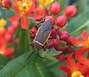 Largus bug on Asclepias curassavica - Largus succinctus