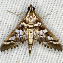 Forsyth's Epipagis Moth - Epipagis forsythae
