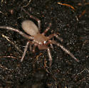 little tan spider - Cicurina