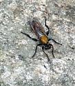 fly - Laphria