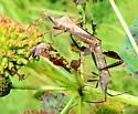 Leaf-footed bugs - Leptoglossus - male - female