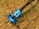 Blue-fronted dancer ( Argia apicalis ) - Argia apicalis - male
