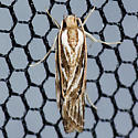 Grass Miner Moth - Hodges #0953 - Eupragia hospita