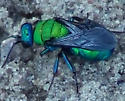 Cuckoo Wasp (Chrysididae: Parnopes)? - Hedychrum