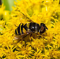 Unidentified Flower Fly - Eristalis transversa - female