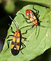 Six-spotted Milkweed Bug - Oncopeltus sexmaculatus