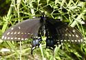 MO Swallowtail again? - Papilio polyxenes - female