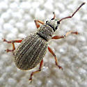 Small weevil - Thricolepis