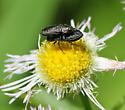 Jewel Beetle pair - Anthaxia - male - female