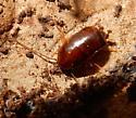 Blattodea - Parcoblatta