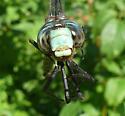 Aeshna tuberculifera - male