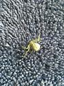White spider - Misumena vatia