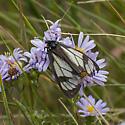 moth (Arctiinae) - Gnophaela vermiculata