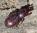 Small dark red weevils with punctured surfaces - Pselactus spadix